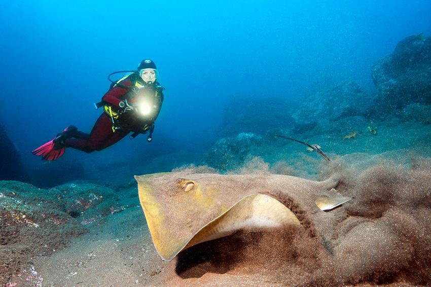 Rochen, Hausriff, Madeira, Fisch, Manta Diving Madeira, Canico, Portugal