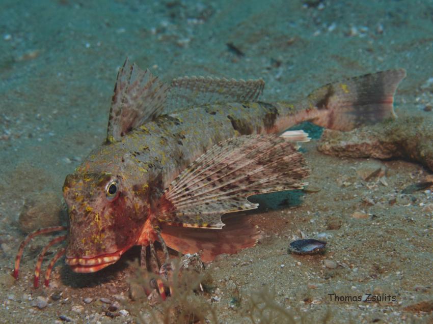 Knurrhahn, Knurrhahn, Triglidae, Styria-Guenis-Diving-Center, Insel Krk, Kroatien