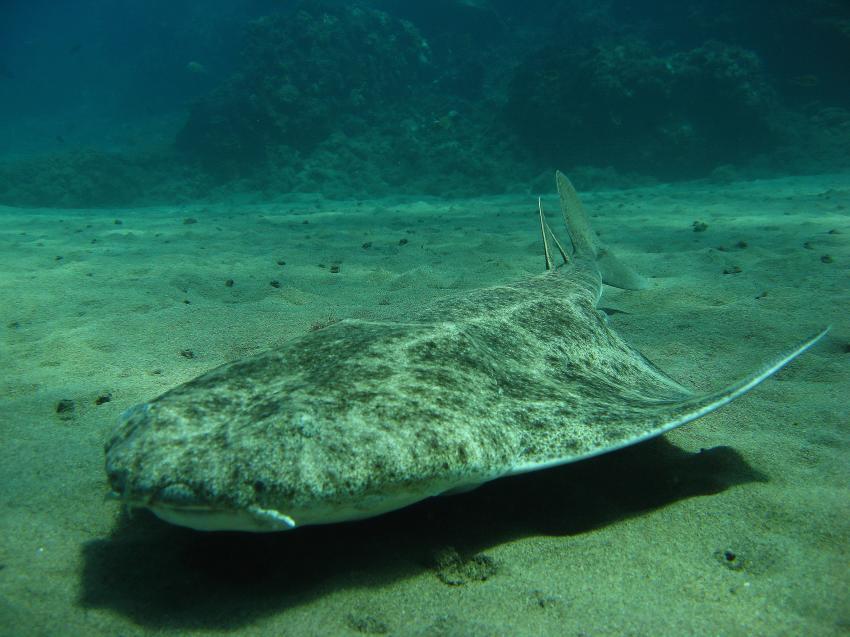 Nautic-Dive, Lanzarote, Spanien, Kanarische Inseln, Engelshai