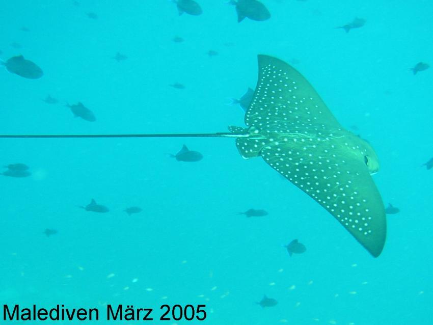 Süd-Male-Atoll, Süd-Male-Atoll,Malediven,Adlerrochen