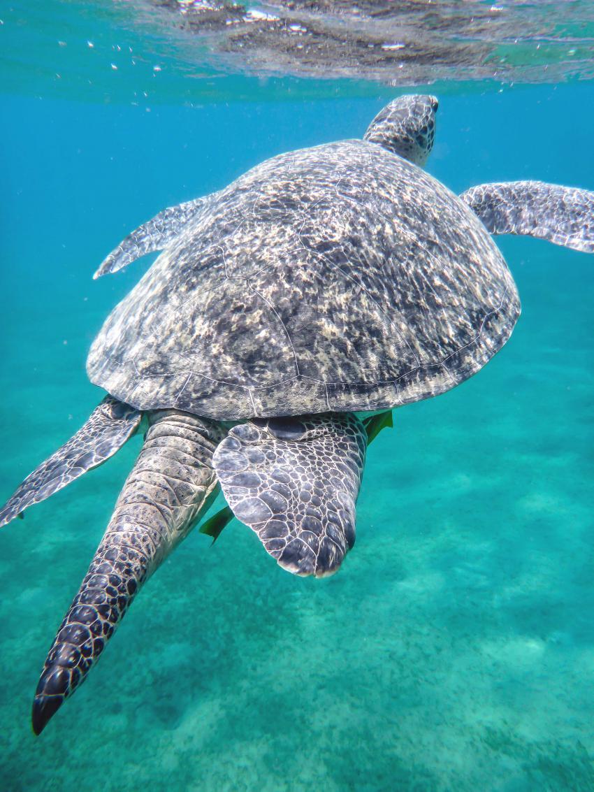 Auch eine Riesenmeeresschildkröte muss mal Luft holen - Marsa Mubarak