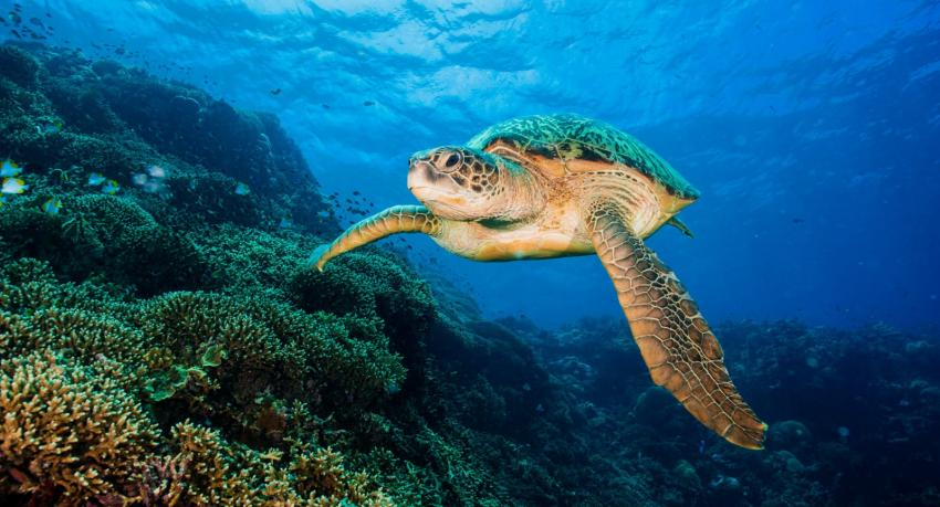 Susie Die Schildkröte, Thalassa Dive Resorts Indonesia, Indonesien, Sulawesi