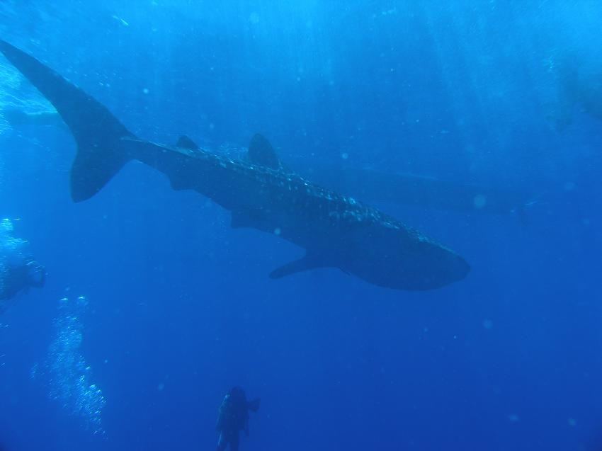 Whale Sharks in Pescador Moalboal, Moalboal,Philippinen