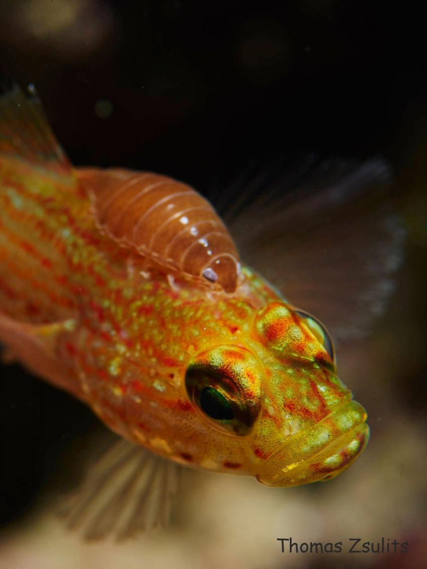 Anemonengrundel mit Fischassel