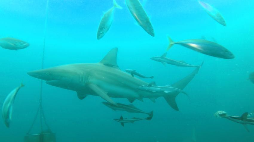 Viele Hochsee Schwarzspitzenhaie, Hai, Aliwal Dive Centre and Lodge, Umkomaas, Südafrika