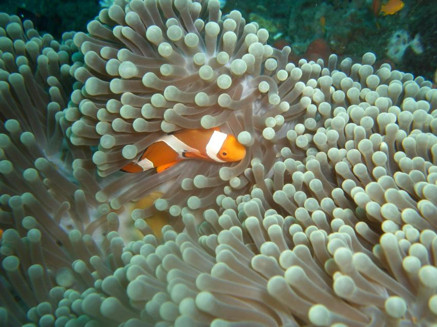 Anemonen mit Nemo