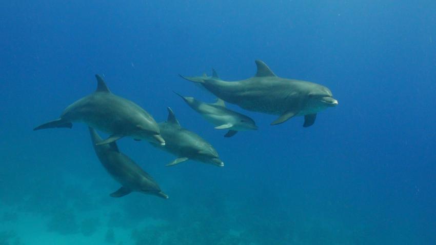 Delphinschule an Shaab Sheer West