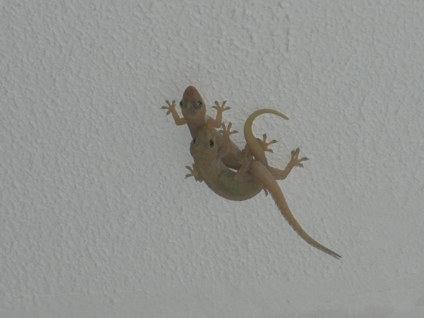 Geckos beim Liebesspiel