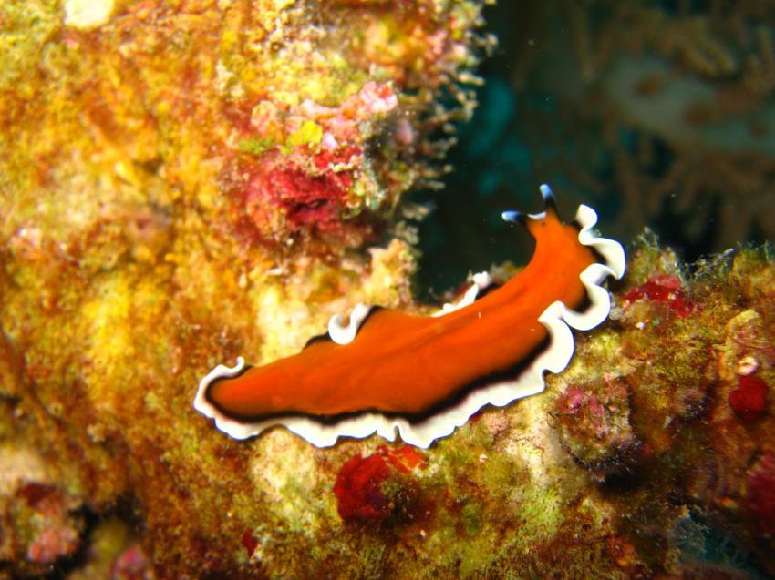 Panglao / Balicasag Isl., Balicasac Island,Panglao,Philippinen,Plattwurm