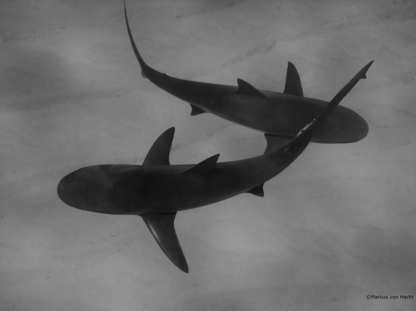 Sharkschool, Grand Bahama,Bahamas,Riffhaie