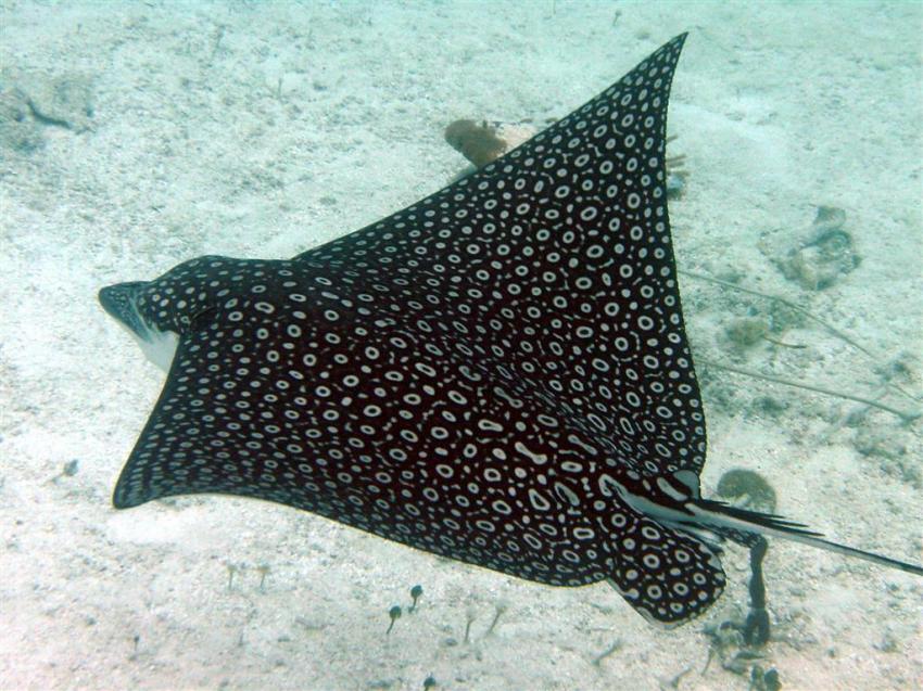 Smith Reef , Providenciales, Smith Reef,Providenciales,Turks- und Caicosinseln,Adlerrochen