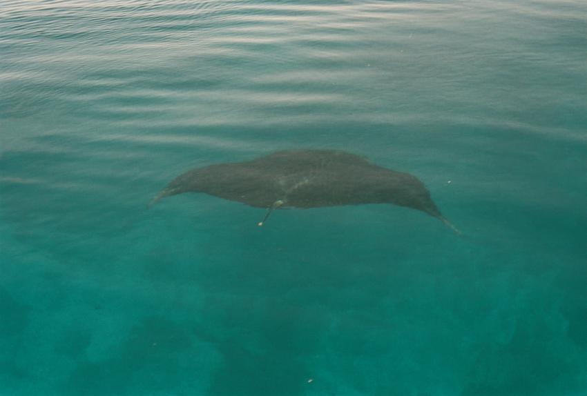Dhiggiri, Dhiggiri,Malediven,Mantas,Mantarochen