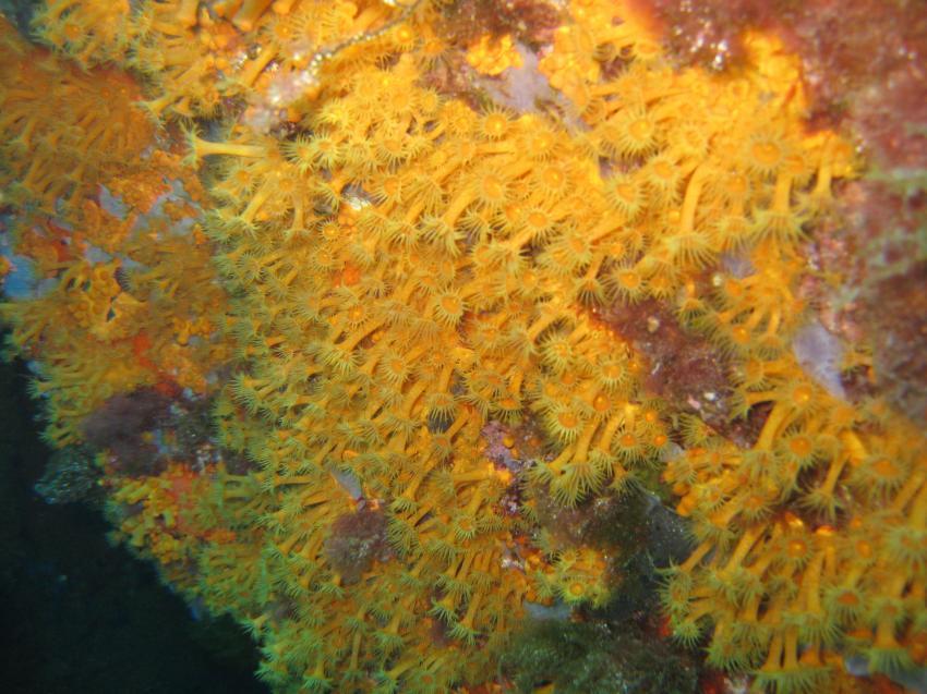 Corallo nero, Sardinien,Santa Teresa,Italien