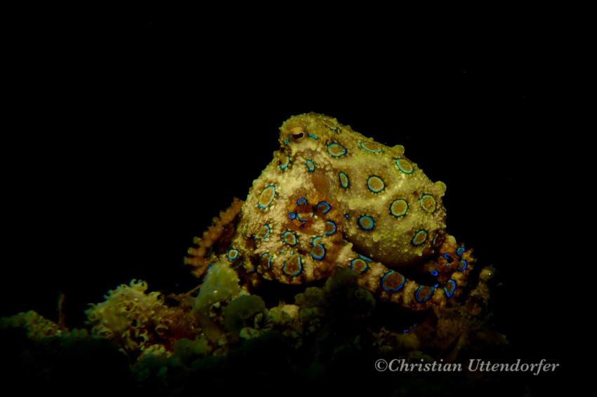 Oktopus, Blauringoktopus, Bastianos Lembeh, Indonesien, Sulawesi
