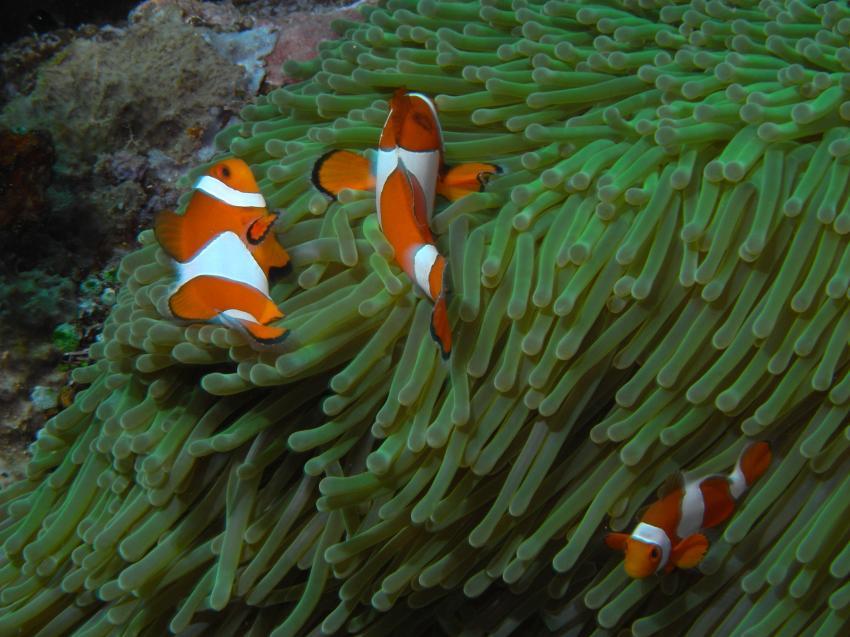 Clownfische in grüner Anemone