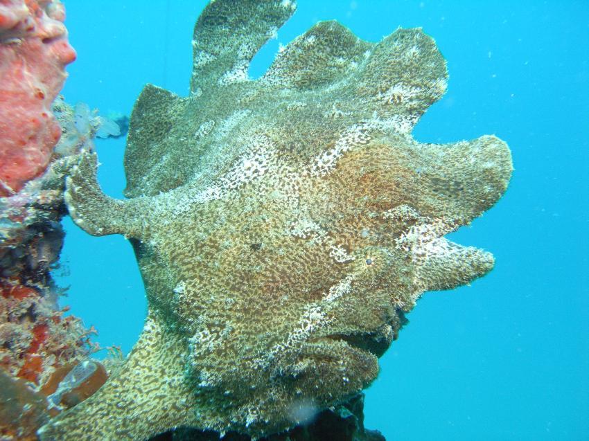 Mabul, Mabul,Malaysia,Anglerfisch,grün
