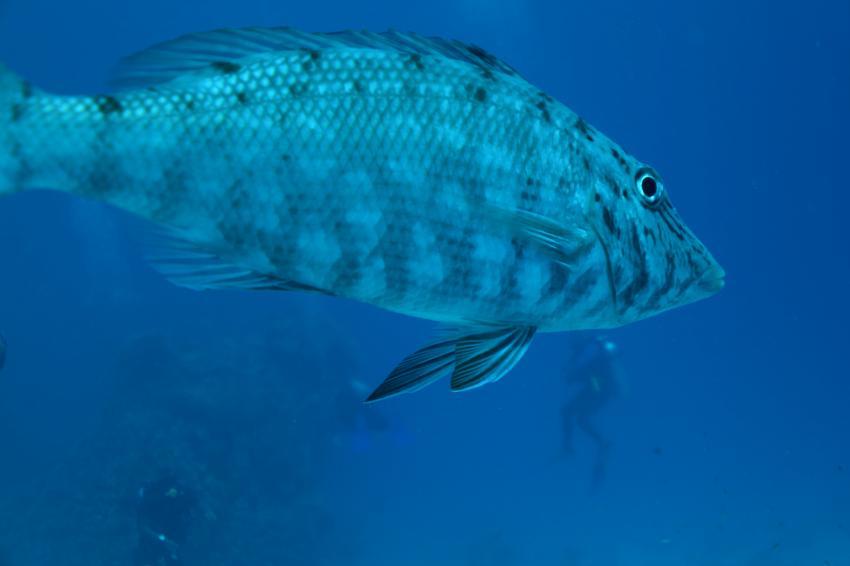 Neugieriger Geselle, Coraya Divers, Coraya Beach, Marsa Alam, Ägypten, Marsa Alam und südlich