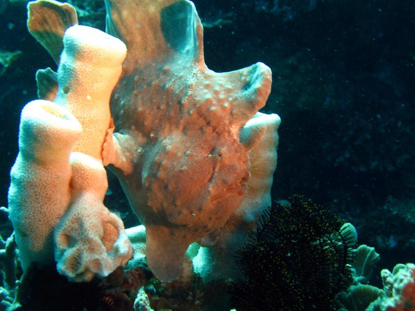 Sipalay/Negros, Sipalay,Philippinen,Frogfish,schaukelfisch