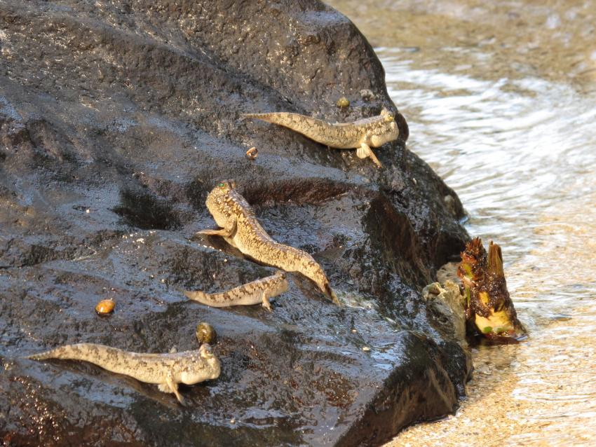 Pulau(= Insel) Sahaung (Bangka Archipel), Pulau Sahaung,Indonesien,Schlammspringer (Periophthalmus sp.)
