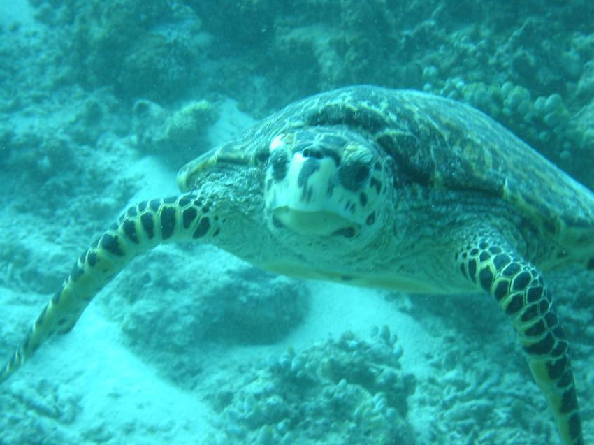 Velidhu (Nord Ari Atoll), Velidhu,Malediven,Schildkröte,grün