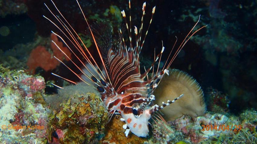 Philippinen 05-2014, Rotfeuerfisch, Philippinen