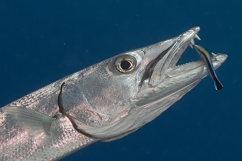 Barracuda mit Zahn-Putzerfisch