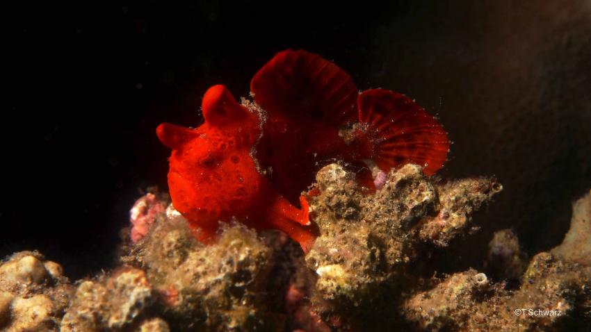 Muck Dive am Paradise Jetty, Nord Sulawesi Festland,Paradise Jetty,Indonesien