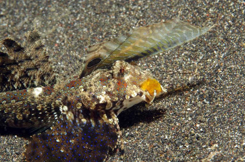 diverse Tauchplätze Juni/Juli 2009, Lembeh Strait,Indonesien,Leierfische,Finger-LeierfischCallionymidae