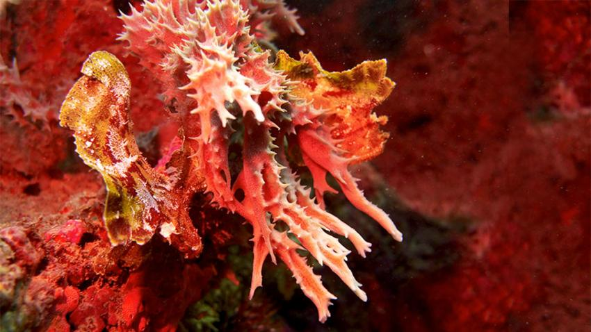 Red leaf scorpionfish in camouflage on a soft coral at Shane´s Reef
