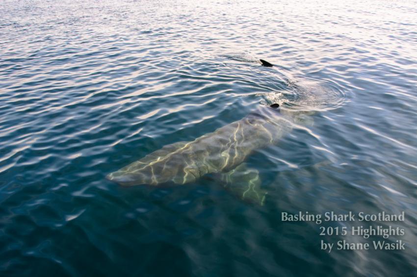 Begegnung mit dem Riesenhai, Riesenhai, Basking Shark Scotla, Basking Shark Scotland, Oban, Großbritannien, Schottland