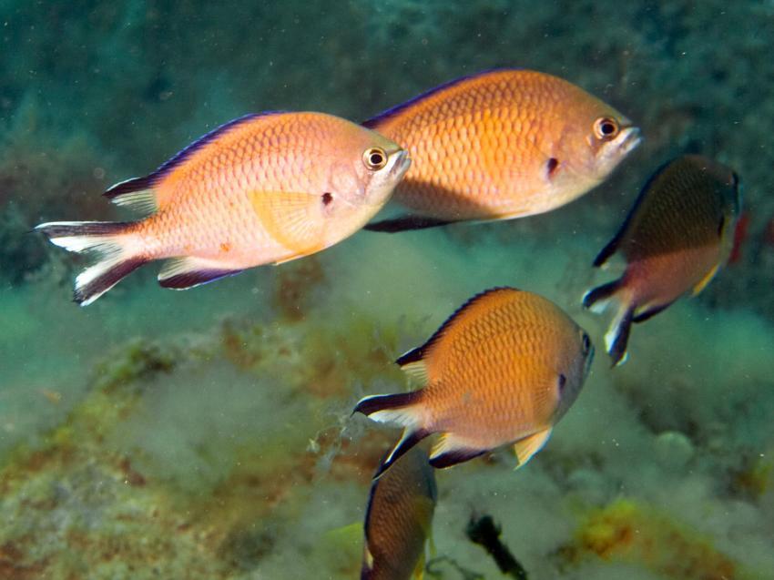 Mönchsfische - als Farbtupfer immer präsent