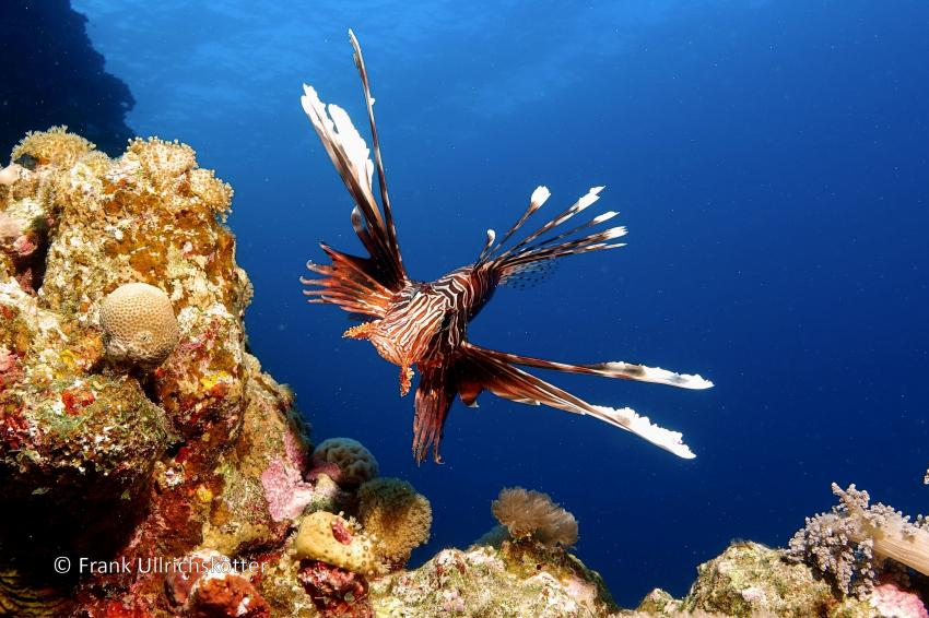 Marsa Alam & Elphinstone, Marsa Alarm,Ägypten,Rotfeuerfisch (Happy Life HR)