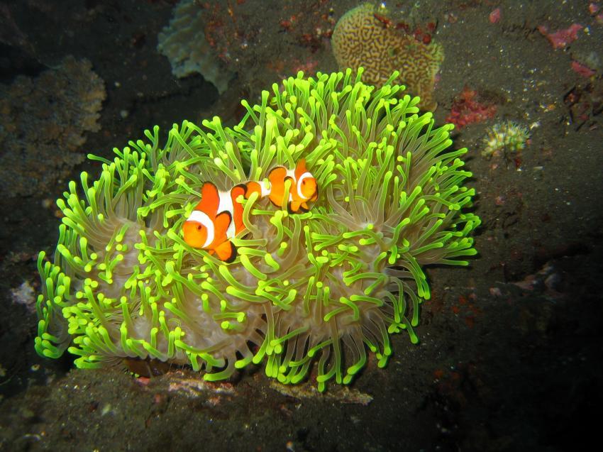 Anemonenfisch in grüner Anemone