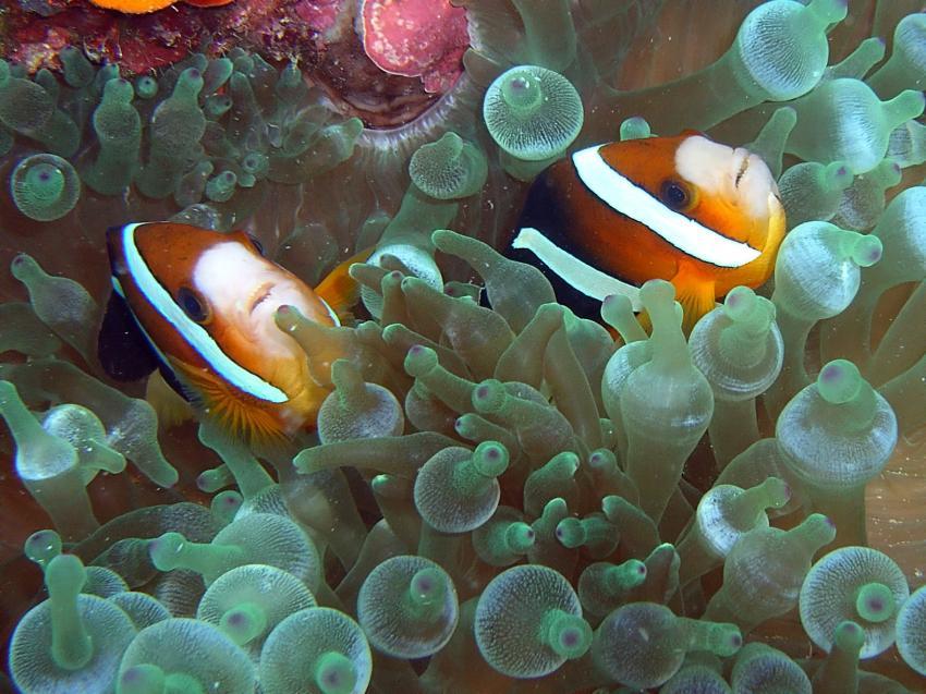 Aberratin Dive Club, Hausriff, Aberratin Dive Club,Hausriff,Philippinen,Anemonenfische,Pärrchen