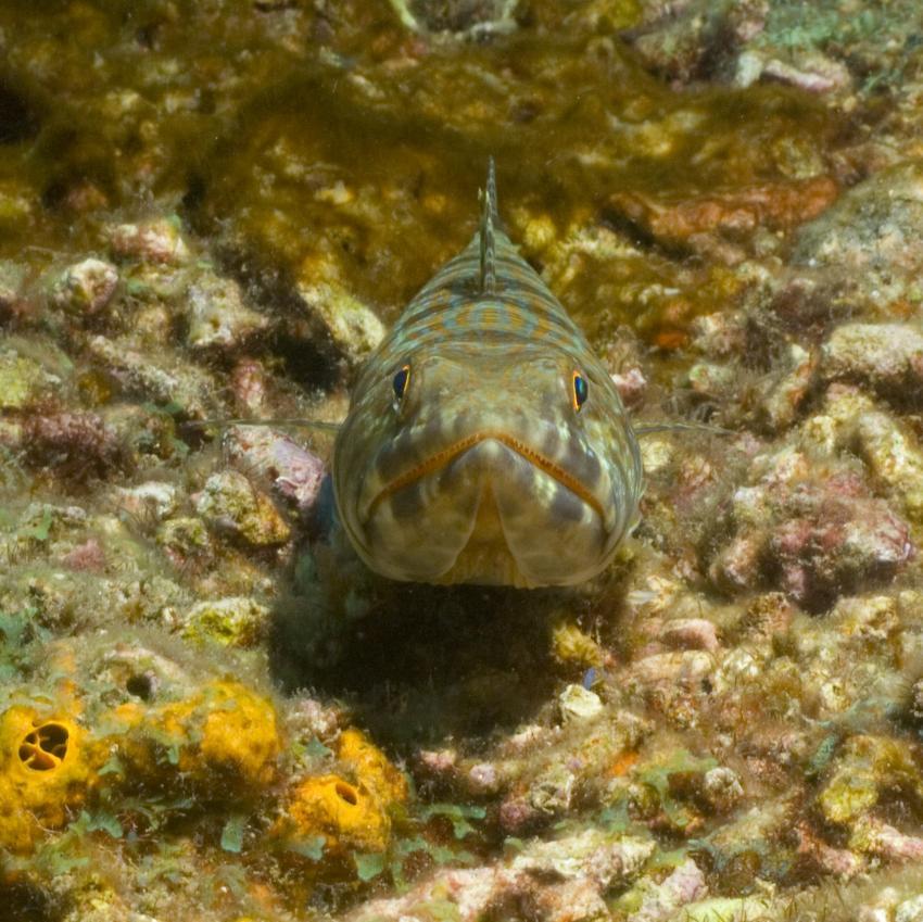 Soufriere, Soufriere,St. Lucia,Eidechsenfisch