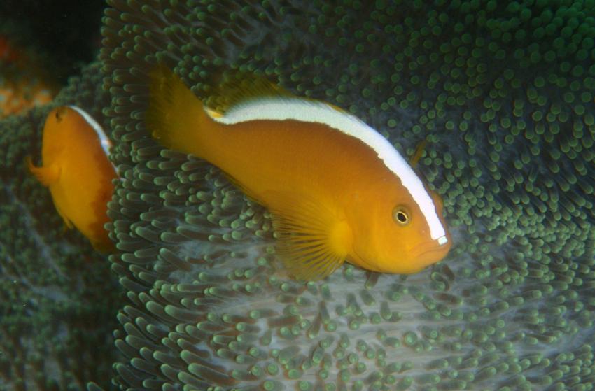 Saparua Tauchgebiet, Molukken/Saparua,Indonesien,Clownfisch,Anemone