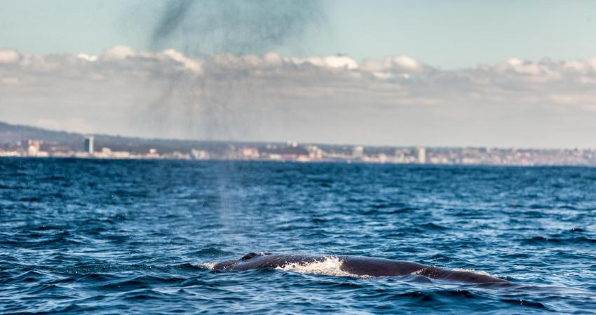 Brydes Wal vor PE / Algoa Bay, Dive Expert-Tours ,   Südafrika, Südafrika