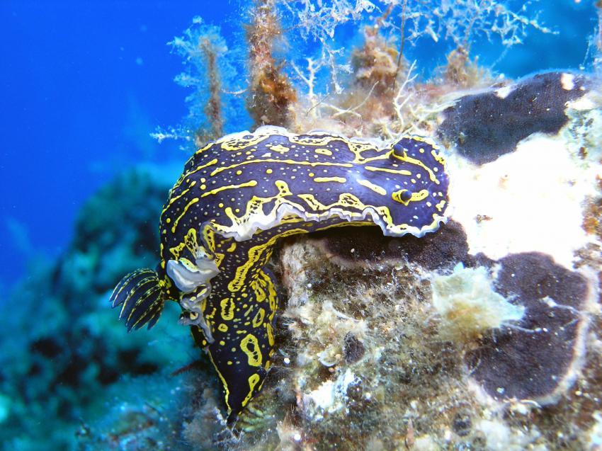 Diving Center Adrasan, Türkische Riviera,Türkei,Nacktschnecke,Prachtsternschnecke