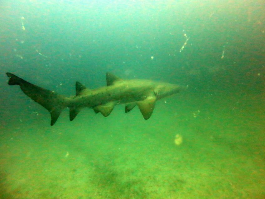 Sandtigerhai bei Brenton Island, Dive Expert-Tours ,   Südafrika, Südafrika