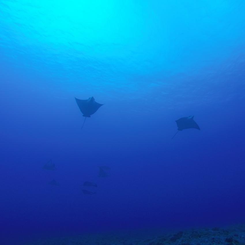 Adlerrochen, Rangiroa Diving Center (vorm. Paradive), Französisch-Polynesien