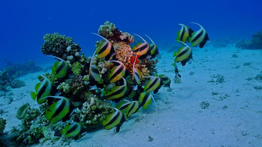 Wimpelfische an Tobia Soraya, Wimpelfische, Korallen, RuMo, Barakuda DC, Lotus Bay, Safaga, Ägypten, Safaga