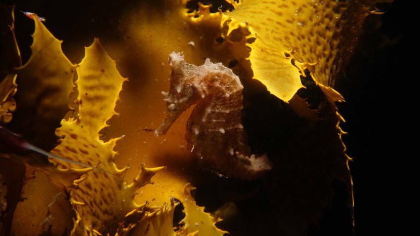 Hippocampus whitei, Seepferdchen, Seahorse, Feet First Dive, Nelson Bay, Australien