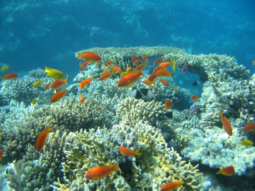 Hurghada - Makadi Bay, Makadi Bay,Ägypten,Fahnenbarsche,Riff