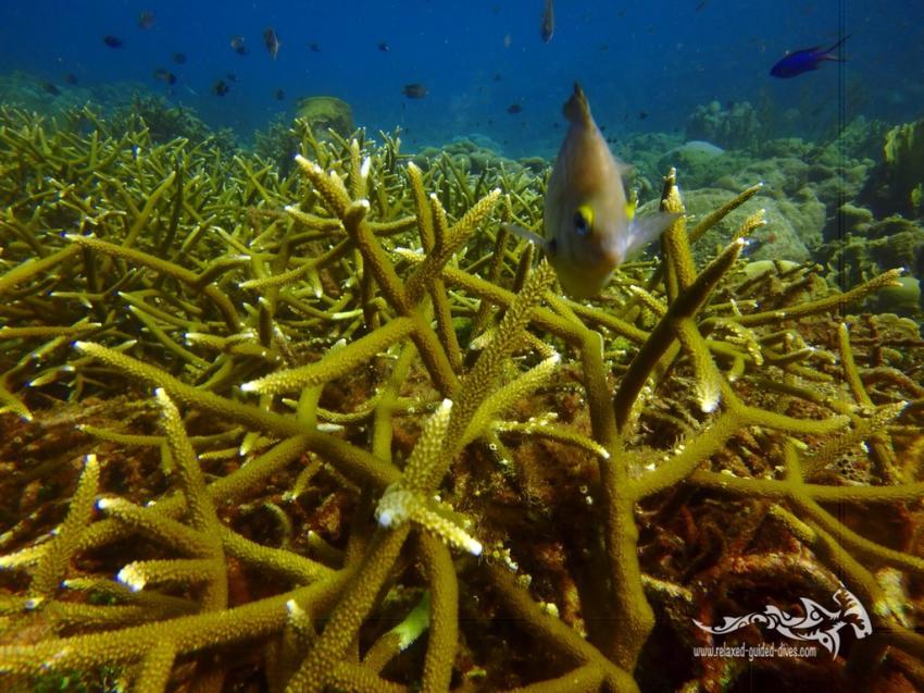 Geweih Korallen, Relaxed Guided Dives, Niederländische Antillen, Curaçao