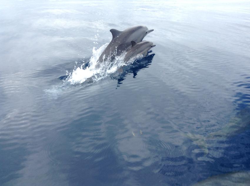Dolphins , Rabaul Dive Adventures, Papua-Neuguinea