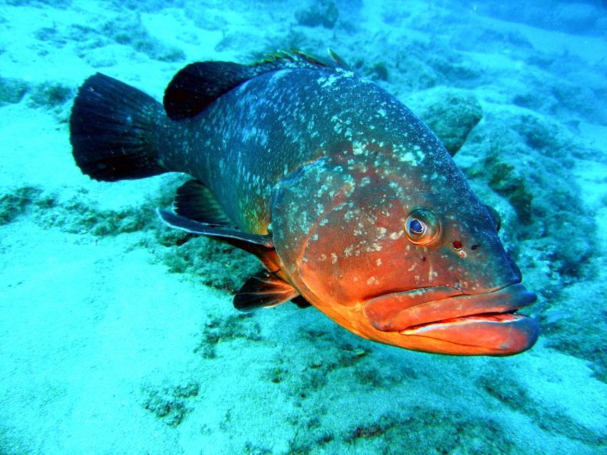 Nautic-Dive, Lanzarote, Spanien, Kanarische Inseln, zackenbarsch, zacki