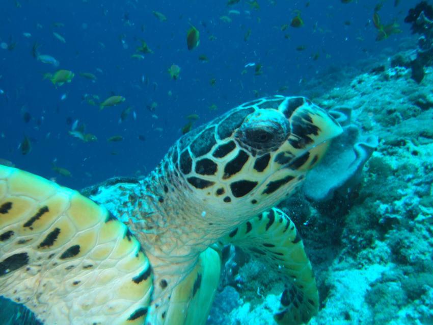 Angaga / Ari Atoll, Angaga / Ari Atoll,Malediven,Meeresschildkröte