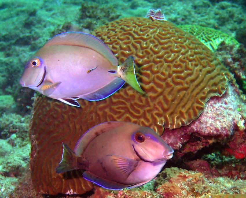 Arnos Vale; Tobago, Arnos Vale,Tobago,Trinidad und Tobago,Doktorfisch,Nasendoktorfisch