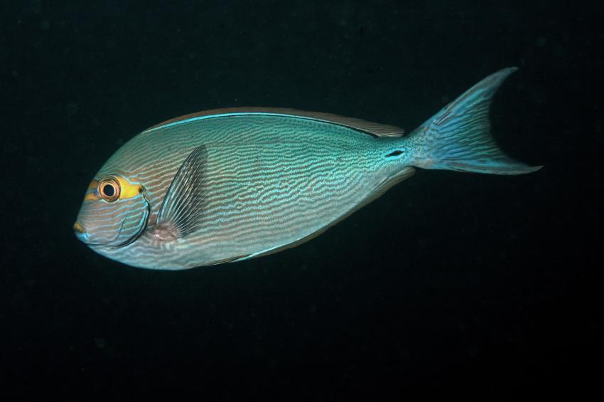 Ellaidho, Ari Atoll,Malediven,Schwarzdorn-Doktorfisch,Acanthurus mata