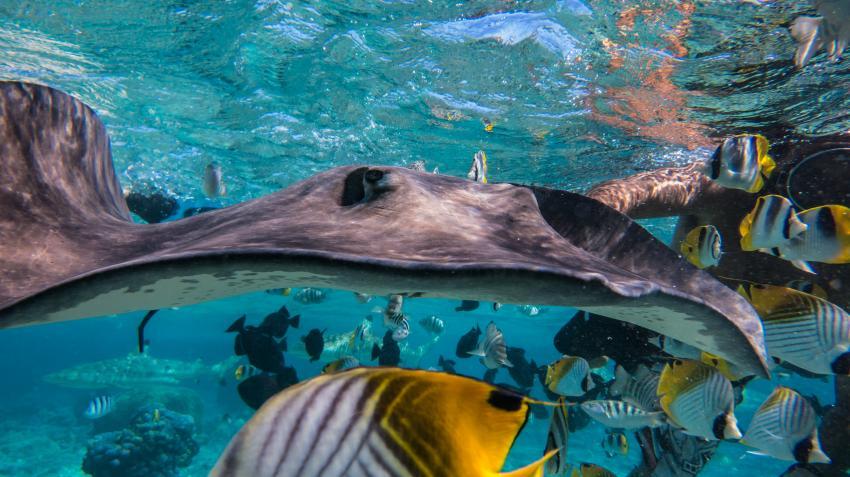 Bora Bora 05.2013, TOP-Dive Center Bora Bora,Französisch-Polynesien,Stechrochen,Rochen